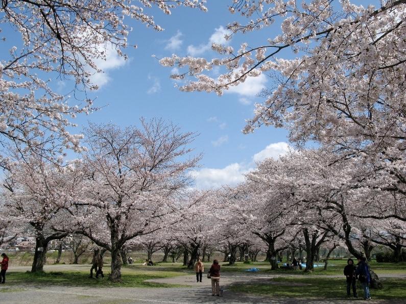 中の島公園の桜